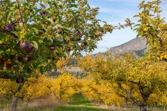 Autumn Apple Orchard